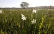 У Долині нарцисів розквітає дедалі більше квітів