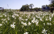 У Долині нарцисів майже пік цвітіння