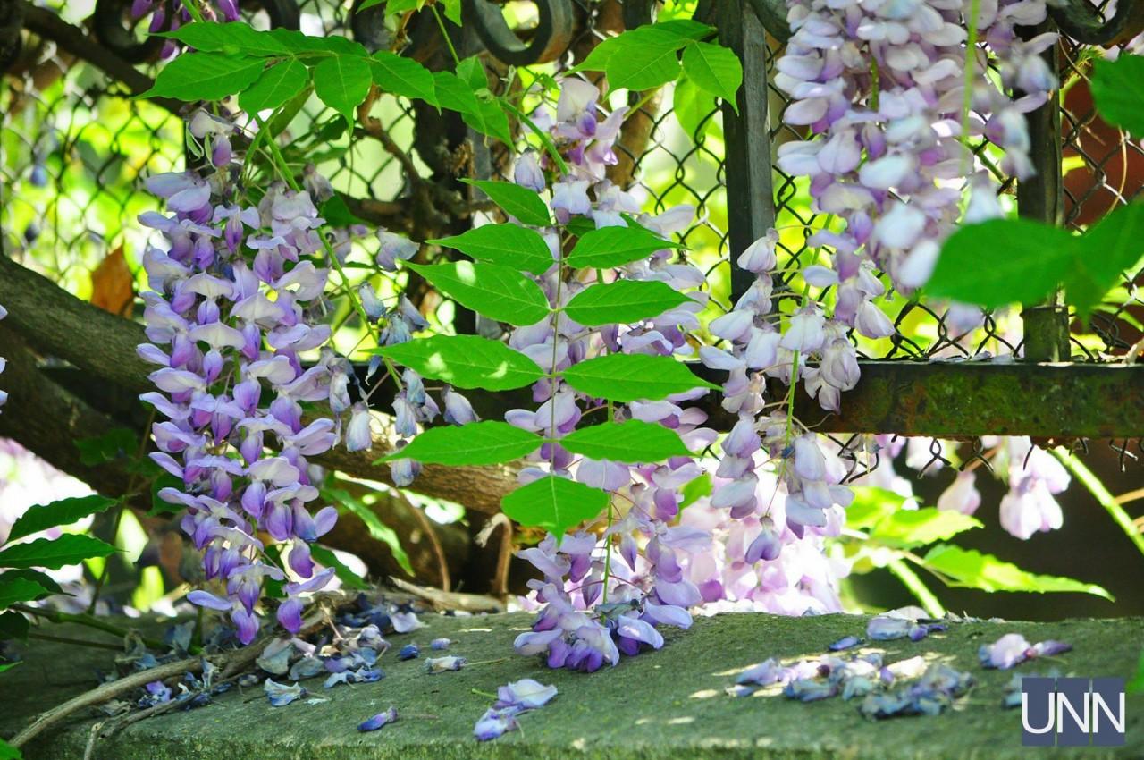 Метеликові ліани розквітли в Ужгороді