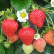 Полуничний сезон на Закарпатті: як на Виноградівщині люди вирощують полуницю