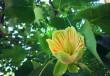 Тюльпанові дерева вже квітнуть у Мукачеві