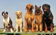 У Мукачеві пройде парад собак
