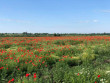 Нове місце для селфі: в інтернет-мережі показали фото мальовничого макового поля на Мукачівщині