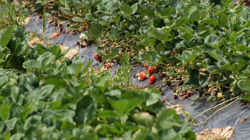 Закарпатці нарікають на поганий врожай полуниці