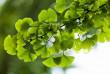 Відомі проміжні результати голосування за породу дерев, яку висадять поруч із каштанами в Ужгороді