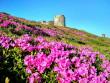 Гора Піп Іван вкрилася рожевим цвітом