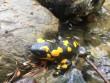 На Закарпатті помітили отруйну саламандру