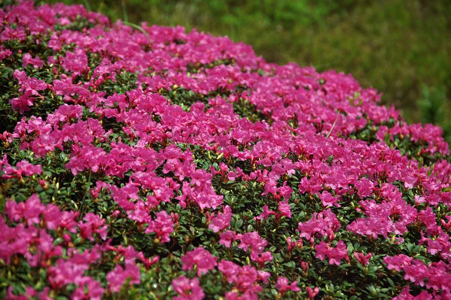 """""""Це – неймовірно"""", – туристи в захваті від унікальних квітів, які ростуть тільки високо в горах"""