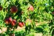 Персиковий рай на Закарпатті