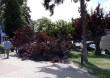 В Ужгороді на тротуар впала величезна гілка