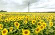 На Мукачівщині розквітло поле соняшників