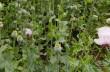На Мукачівщині чоловік вирощував снодійний мак