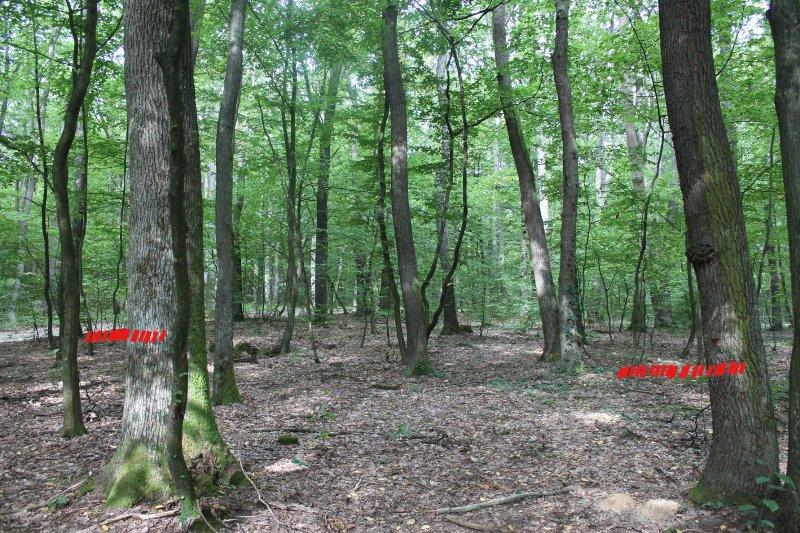 Лісівники кажуть, що в Ужгородському районі висихає дуб і обдумують вирубку дерев