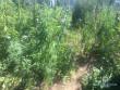 В одному із сіл Мукачівського району чоловік вирощував кілька кущів коноплі