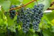 На ринках вже продають перший закарпатський виноград