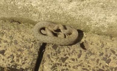 Жінка виявила біля власного будинку змію