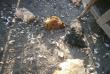 На Мукачівщині впіймали невідому тварину, яка нападала на курей та кролів