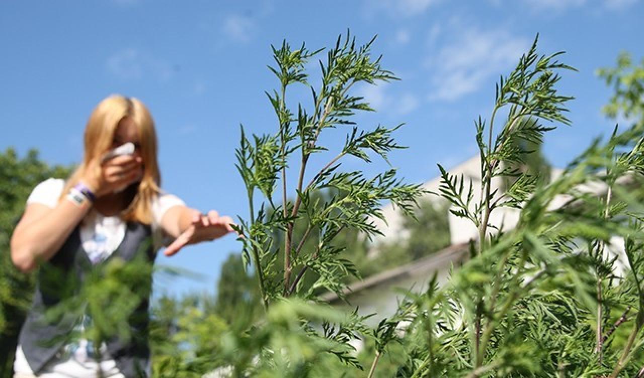 В області почав цвісти один із найнебезпечніших бур'янів-алергенів