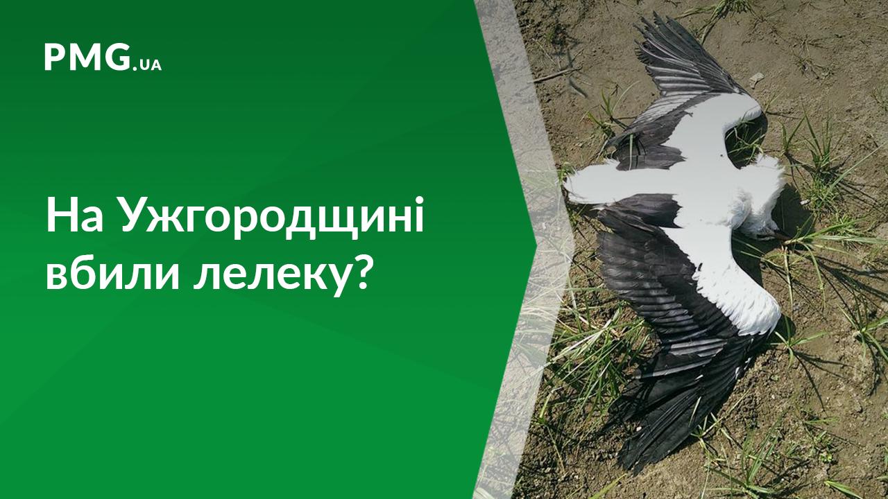 На Ужгородщині, ймовірно, вбили лелеку