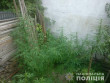 29-річний чоловік вирощував коноплю