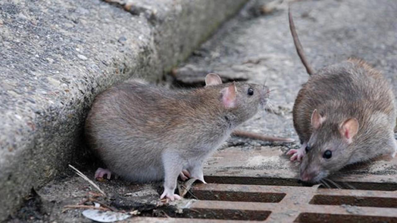 В Ужгороді почали труїти щурів поблизу сміттєвих майданчиків та на берегах річки Уж