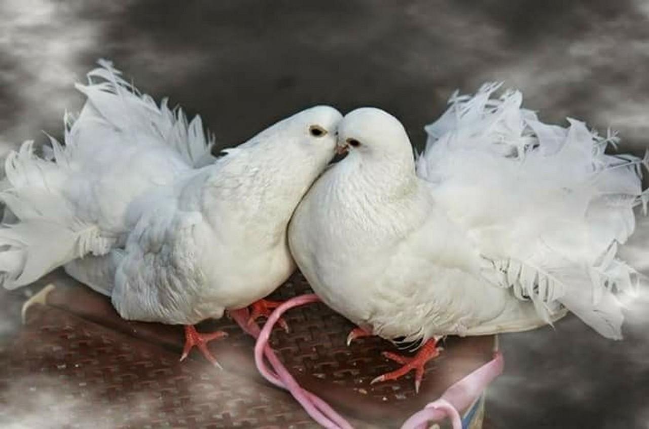 Мешканець Тячева триває на даху багатоповерхівки дві сотні породистих голубів