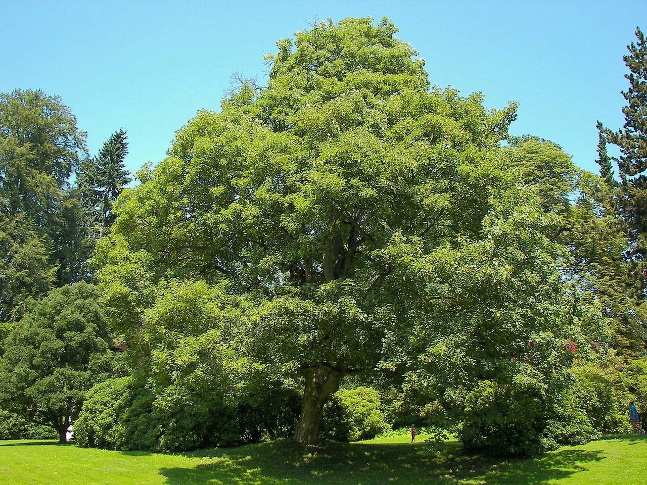 На площі Петефі в Ужгороді висадять нові дерева. Містяни самі обирають породу дерев