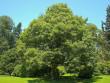 На площі Петефі в Ужгороді висадять нові дерева
