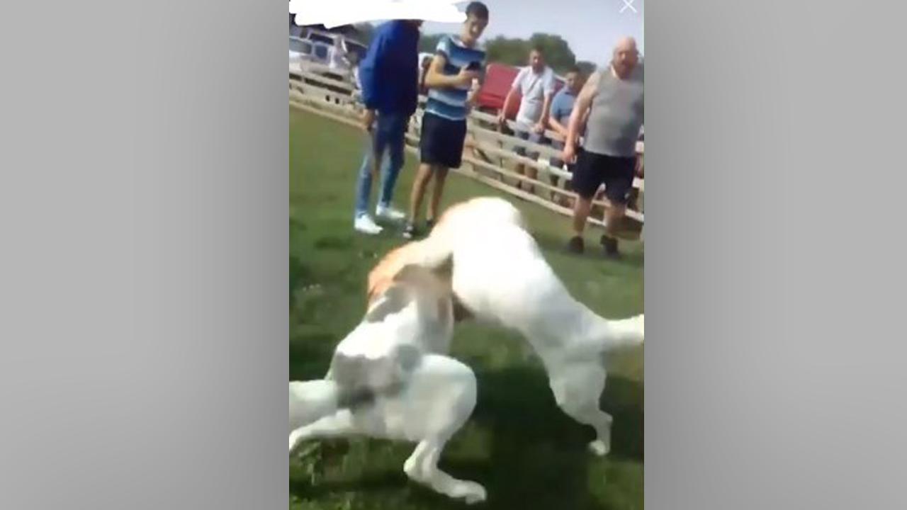 Собачі бої в Іршаві: поліція прокоментувала резонансне відео