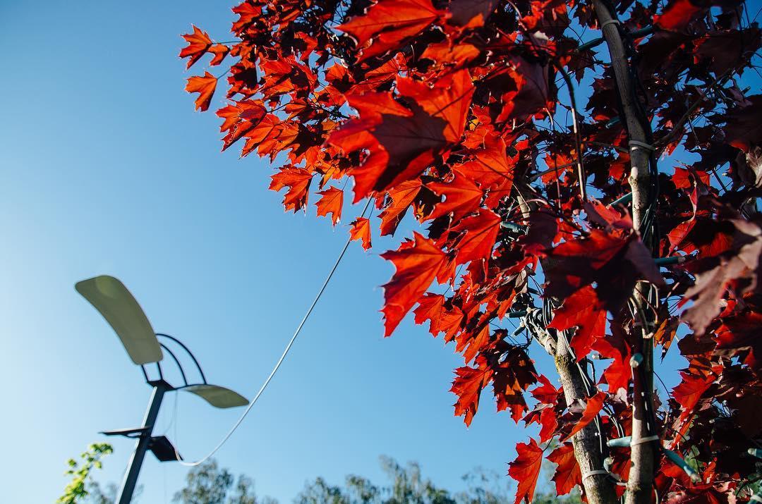 На площі Шандора Петефі в Ужгороді висадять ліквідамбар смолоносний або амброве дерево
