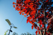 У мерії Ужгорода назвали, яке дерево висадять на площі Петефі