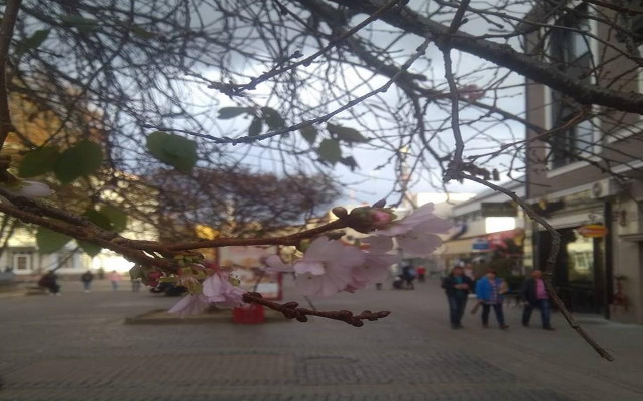 У Мукачеві на площі Федорова розквітла шалена сакура