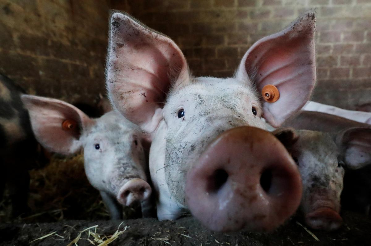 У Берегівському районі Закарпаття зафіксували новий випадок африканської чуми свиней