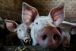На Закарпатті зафіксували новий випадок африканської чуми свиней