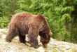 Закарпатські лісівники та WWF запускають проект зі збереження ведмедів