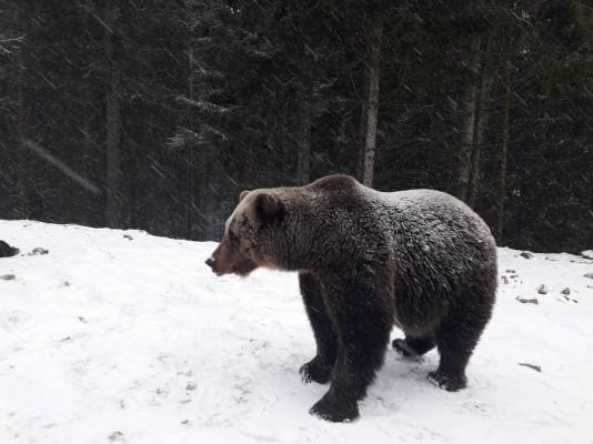 Як на Закарпатті ведмеді радіють снігу: оприлюднено відео