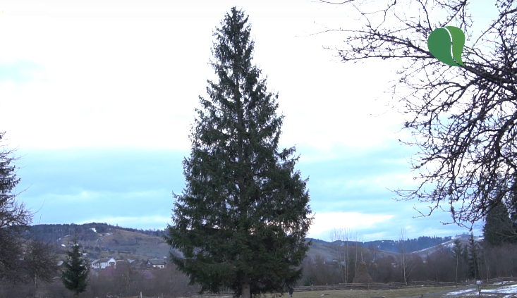 Головна ялинка Закарпаття матиме висоту 20 метрів і вік 85 років