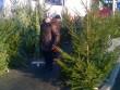 Де в Мукачеві можна придбати живу ялинку: визначено місця для торгівлі