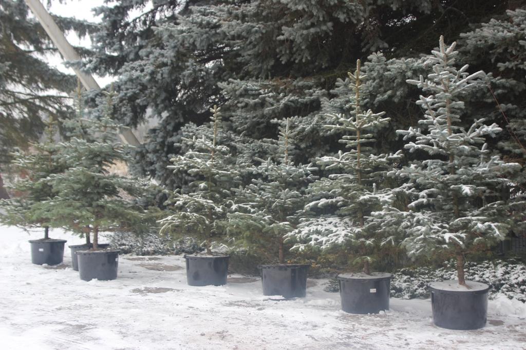 У Великобичківському лісовому господарстві на Рахівщині продають ялинки в горщиках