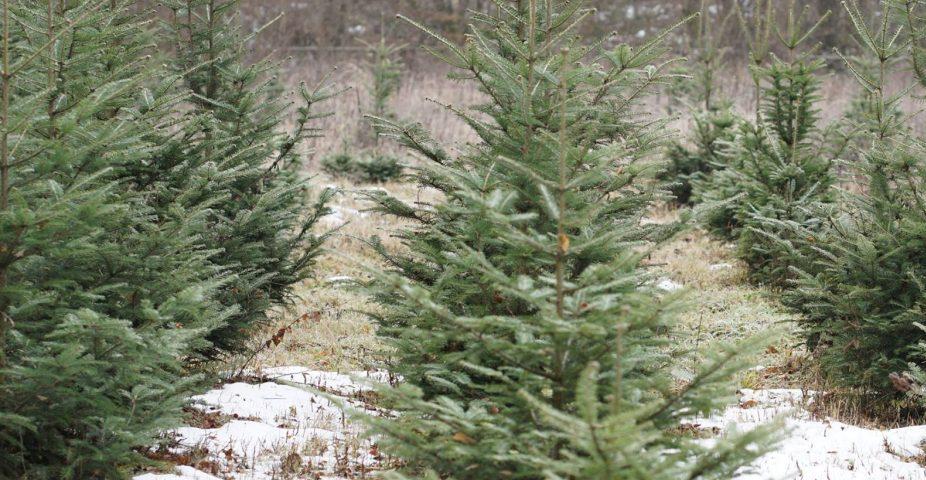 """На Березнянщині лісівники попереджають: """"Три ялинки в лісі зрубав – привіт, кримінальна справа!"""""""