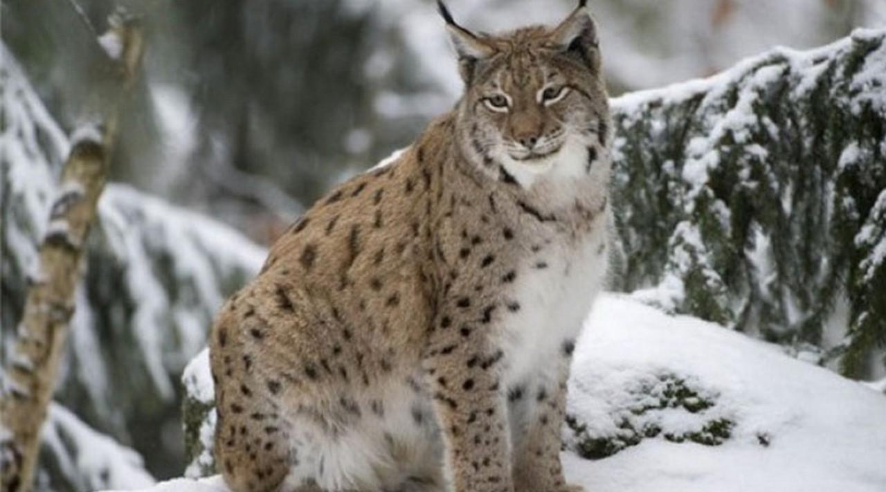 Камери відеонагляду на Іршавщині зафіксували червонокнижних тварин