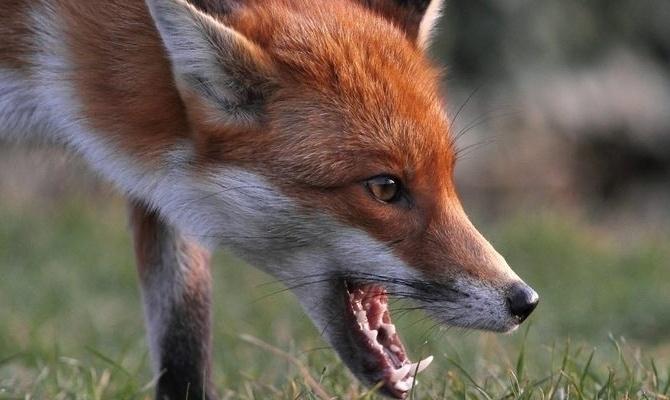 У Свалявському районі в урочищі Вишній Кінець у лисиці виявили сказ