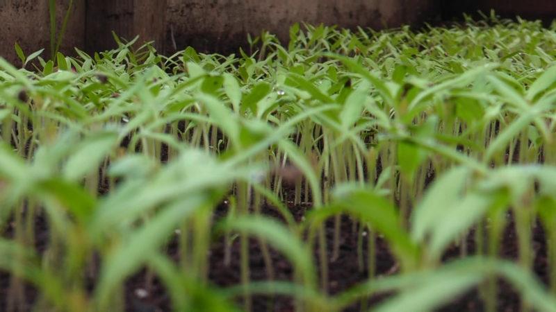 У селі Боржавське Виноградівського району зійшли перші саджанці томатів