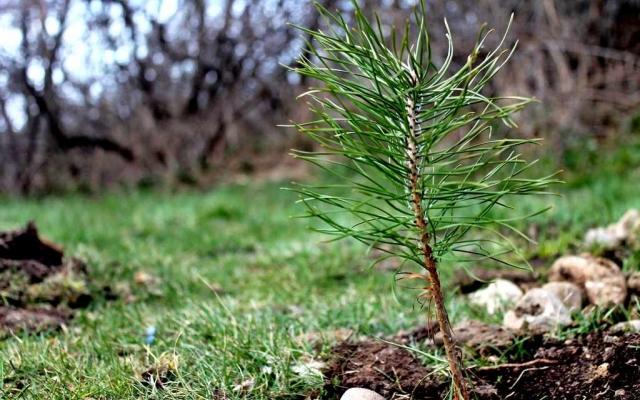 З 21 березня до 21 квітня на Свалявщині висадять понад 40 гектарів молодого лісу