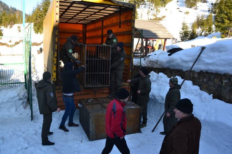 """До реабілітаційного центру """"Синевир"""" привезли 5 ведмедів із Донеччини: у одного з них зламана щелепа"""