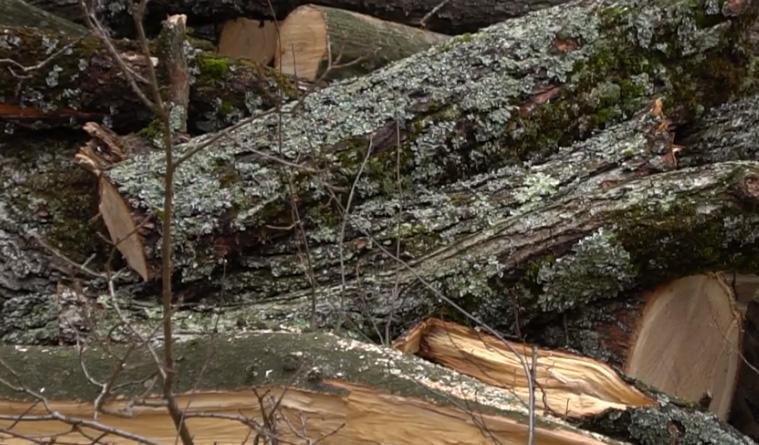 Ужгородщина: що насправді рубають лісівники в Дубках?
