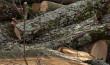 Скандал через вирубку дерев: лісівники переконують, що дерева лише виглядають