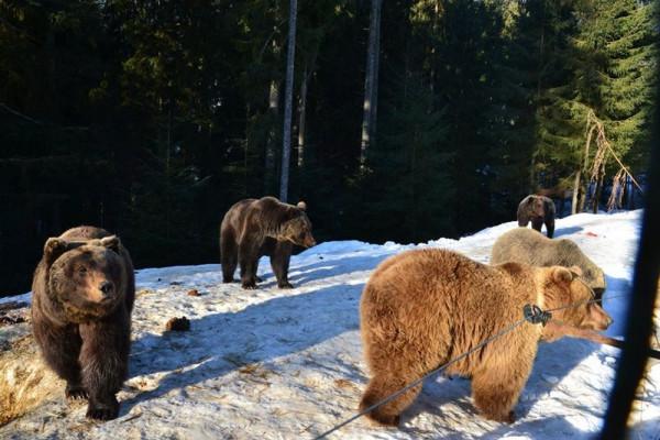 Соцмережі підкорюють фото ведмедів із Синевиру
