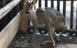 Лісівники розповіли, як врятували поранену тварину