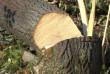 У центральній частині Мукачева обрізають дерева